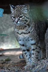 geoffrey´s cat Amersfoort JN6A2940 (joankok) Tags: amersfoort cat kat zuidamerika southamerica geoffrey´scat geoffreyskat predator zoogdier dier animal
