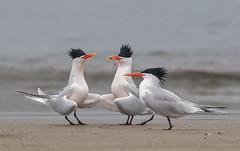 Dude, where do you get your hair done. (knobby6) Tags: elegantterns terns royalterns beach bolsachica ocean fish california