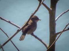 wifeys cettis warbler (ledwar) Tags: cettiswarbler warbler birdwatcher smallbird burtonmere rspb rare fujifinepix