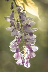 Malvas (seguicollar) Tags: flower flores árbol malvas trasluz juegoluces virginiaseguí nikond7200 plantas vegetal vegetación inflorescencia bokeh
