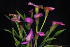 Calla Lilies (Lindaw9) Tags: calla lilies pink foliage flowers macro black background processing