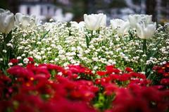 White Tulips (Mathias Heller) Tags: luzern flowers bokeh sel55f18z sonnartfe1855 zeiss fe sony sonnar5518za
