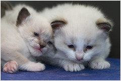 Three weeks old ... (Jan Gee) Tags: kittens katjes chats katzen ragdoll three weeks old gato gattini gatto