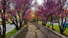 The golden blossom (saromon1989) Tags: landscape panorama haskovo bulgaria golden blossom trees river nature canal