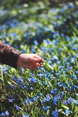 Picking Flowers (instantalex) Tags: flowers spring warm weather pretty flora floral garden hippy hippie hair longhair flowerhair canada 2017 student university macro bokeh flower field blue