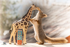 The g of giraffe (Geert Weggen) Tags: red nature animal squirrel rodent mammal cute look closeup stand funny bright sun backlight staring watching hold glimpse peek up tail message communication letter woodenframe capitals numbers learning school child education learn baby word alphabet teacher giraffe book kiss geert weggen hardeko sweden bispgården jämtland