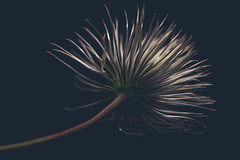 24/30 Clematis Seedhead (belincs) Tags: 2017 april aprilproject lincolnshire uk clematis flash indoors seedhead