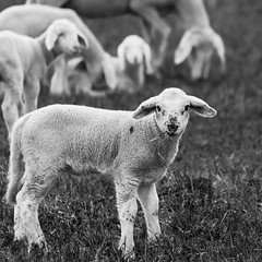 lamb (Cornelia Pithart) Tags: animal closeup day domesticanimal farmanimal field focusonforeground grass lamb livestock mammal mammalian nature nopeople nobody outdoors sheep withoutpeople younganimal
