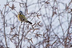 Blåmeis / Blue Tit (Sigurd R) Tags: cyanistescaeruleus bird blåmeis eurasianbluetit fugl gudbrandsdalen norge norway ringebu spring oppland no
