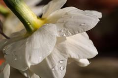 Narzisse nach dem Regen - Daffodil after the rain (riesebusch) Tags: berlin garten marzahn