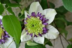 Clematis (ivlys) Tags: darmstadt minigarden garten clematis blüte blossom blume flower frühling spring nature ivlys