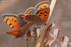 Small copper couple (Dom Greves) Tags: april behaviour butterfly heathland insect invertebrate lepidoptera lycaenaphlaeas mating smallcopper spring surrey uk wildlife