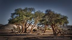 Solitary desert elephant (marko.erman) Tags: namibia huabriver dried riverbed desert solitary elephant sony africa dust trees wild wildlife nature travel safari animal bush