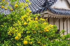 IMG_1512 (Evgeny Gorodetskiy) Tags: himeji asia tree lemon outdoor autumn rain japan park himejishi hyōgoken япония jp