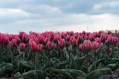 Lost in a field of pink tulips?!.... (2AnNa3) Tags: verdwaald lost oranje roze bloemen bloeien flower orange pink tulips
