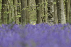 Living in Paradise. (muddlemaker1967) Tags: hampshire landscape photography woodland spring 2017 bluebells beech trees deer leaves blue nature wildlife nikon d700 nikkor 200500mm f56
