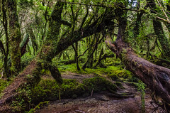 Enchanted Forest - 03 (Cristian González Photography) Tags: patagonia chileanpatagonia visitchile visitsouthamerica green nature natureperfection naturebrilliance forest nothofagus greenforest tr trekking travelling