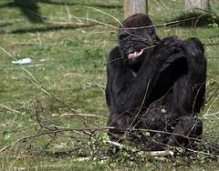 Chimpansee (CharmFocus) Tags: ilca77m2 a77ii safaripark beekse bergen animal dieren sigma70200 sigmatc20 70200tc2 chimpansee pan troglodytes mensaap afrikaanse