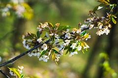 cherryblossom. (maxgrosser) Tags: sony a6000 festbrennweite minolta af 50mm kirsche cherry blüte blossom natur nature wald forrest baum tree frühling spring bokeh