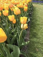 Keukenhof - Tulip Gardens (darrenboyj) Tags: flowerbed tulip keukenhof holland spring netherlands color colour event attraction scent