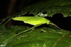 Orthoptera sp. (Katydid) - Singapore (Nick Dean1) Tags: orthoptera grasshopper katydid animalia arthropoda arthropod hexapoda hexapod insect insecta singapore dairyfarmnaturepark