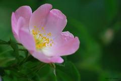 Rose sauvage (jpto_55) Tags: fleur rose églantier macro bokeh xe1 fuji fujifilm omlens om85mmf2 hautegaronne france ngc