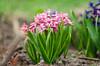 hyacinthus (pink pearl) (bonzerg) Tags: nikon d5100 nature village flowers helios helios442 bokeh green garden pink hyacinthus