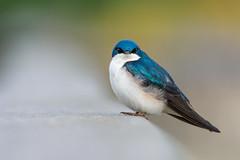 "Tree Swallow - ""The Stare"" (PhillymanPete) Tags: treeswallow portrait johnheinznwr wildlife nature heinz bird tachycinetabicolor swallow philadelphia pennsylvania unitedstates us"