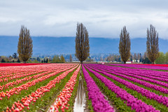 beautiful orange and purple tulip field (Kanonsky) Tags: seattle morning pink sky orange mountain plant flower color nature floral beautiful beauty field bulb clouds landscape photography washington leaf spring flora colorful purple tulips bright cloudy blossom farm vibrant seasonal harvest scenic vivid row petal valley bloom agriculture springtime