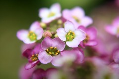 alyssum 2 s (brooke.mullins.doherty) Tags: pink flowers purple alyssum