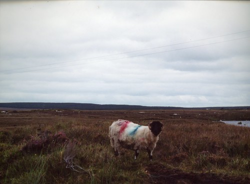 2000 Ireland 13 striped sheep on road from Rosaveel to Oughterard