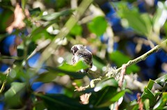 DSC_1519 (john.r.d.reynolds) Tags: goldengatepark birds wildlife hummingbirds