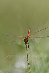 Libellula rossa - 5761 (Francesco Pacienza - Getty Images Contributor) Tags: life red wild macro nature colors river lago dragonfly lakes insects natura makro rosso insetti freshwater libellula