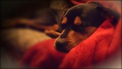 My Dogs (m4d4d0g5) Tags: newbrighton presacanario mastweiler flickrandroidapp:filter=none