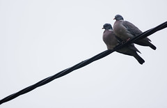 Lovebirds (Mike Burnage) Tags: bird love couple pidgeon