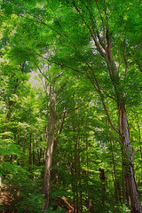 Tryon-Weber Woods (1) (Nicholas_T) Tags: trees summer nature leaves forest pennsylvania branches foliage creativecommons trunks deciduous canopy crawfordcounty oldgrowthforest westernpennsylvaniaconservancy relictforest tryonweberwoods