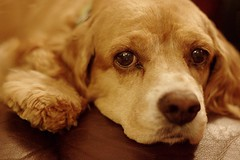 Ginger (Iguanasan) Tags: dog pet canada ginger novascotia canine sofa cockerspaniel lying lay