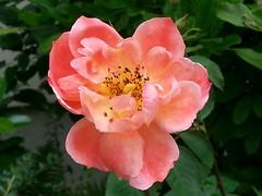 First upload from Swiss (Joevimalraj) Tags: naturelover flowerwatcher flickrandroidapp:filter=none zvvglattbruggbahnhof