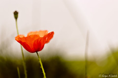 Te siento cerca (hunter of moments) Tags: light naturaleza flower color macro art blanco luz nature beauty garden nikon purple flor lila simple diseño belleza petalos amapola estambre d5000