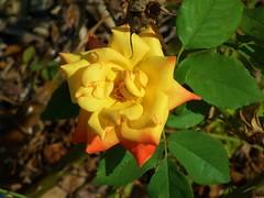 Yellow to orange fading flower (JSimpson19) Tags: summer orange usa flower yellow garden texas yellowflower orangeflower fortworth botanicgardens fortworthbotanicgardens
