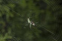 Spider eating series 16 (Richard Ricciardi) Tags: spider eating web spinne araa  araigne ragno timeseries     gagamba    nhn  spidertimeseries