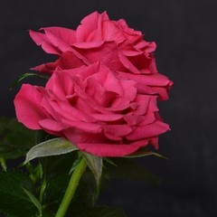 Roses (ArveBerntzen) Tags: pink red macro rot rose norge micro rosen makro ro rd rosas rozen norvegia norvege norsk roser   rosis  malvik sooc    rozoj   wonderfulworldofflowers