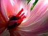 Paeonia sp 1306160346_PS3_ (Pixel-Cat) Tags: plant flower macro berlin pflanze blume blüte gardensoftheworld inflorescence paeonia paeonie hellersdorf infloreszenz paeonicaceae