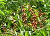 zselnicemeggy júliusban / Bird Cherry in July (debreczeniemoke) Tags: summer plant tree garden fa kert hackberry rosaceae birdcherry nyár növény prunuspadus rózsafélék cerisieràgrappes zsidócseresznye gewöhnlichetraubenkirsche zselnicemeggy canonpowershotsx20is ahlkirsche sumpfkirsche elsenkirsche merisieràgrappes zelnicemeggy zelnicze madárcseresznye padoagrappoli ciliegioagrappoli mălin