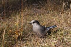 Camp Robber (yukonchris) Tags: canada bird nature beauty north yukon northern genre grayjay greyjay whiskeyjack wildbird northof60 canadajay southernyukon ef400mm canon7d