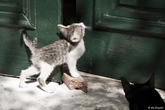 Mici curiosi (Aris Cereghetti) Tags: pet cats pets animals cat furry kitten ar tiger adorable kitty kittens mao katze miao gatto aris catlover cere cereghetti