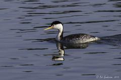 Clark's Grebe - Breeding Adult (Bob Gunderson) Tags: sanfrancisco california birds northerncalifornia lakemerced concretebridge grebes clarksgrebe aechmophorusclarkii