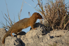 DSC_3053 (Arno Meintjes Wildlife) Tags: africa nature animal southafrica wildlife safari krugerpark kruger arnomeintjes