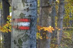 Teethis pilgutab silma (anuwintschalek) Tags: wood autumn mountain berg sign forest austria buchenwald october herbst autumnleaves wald mets niedersterreich wandern beeches undergrowth sgis baumstamm buchen peilstein herbstbltter beechforest 2013 18200vr mgi wegzeichen mrk metsaalune d7k puutvi pgimets nikond7000 sgislehed rajathis