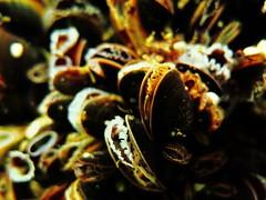 Mussels, Underwater Baltic Sea, Zingst (yayapapaya77) Tags: germany underwater diving balticsea mussels ostsee zingst mecklenburgvorpommern tauchen unterwasser muscheln canonpowershotg15